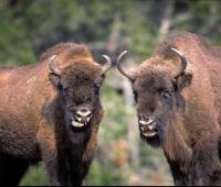 bisons-europe-lozere.jpg