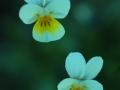 Violette tricolore - Lozère Évasion © Leo Gayola